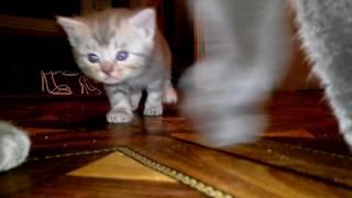 Мама Кошка разговаривает с ее прикольными мяукающими котятами. Котенок говорит милое видео.
