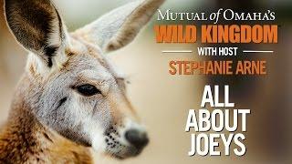 Wild Kingdom - Kangaroos - All About Joeys