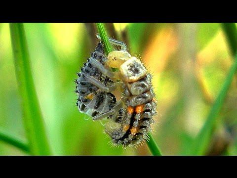 Личинка Божьей Коровки. Видео с насекомыми. Рождение Божьей Коровки. Футажи для видеомонтажа