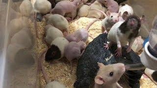 餌用に増やしているネズミです。 少なくなってきたので一気に増やしまし...