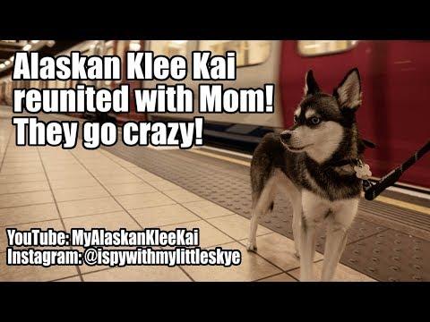 Alaskan Klee Kai reunited with Mom!