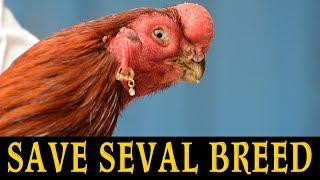 Seval Sanda tamilnadu   Reason behind Rooster fight ban