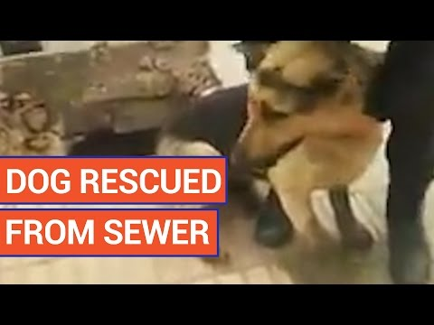 Amazing Puppy Sewer Pet Rescue Video 2016 | Daily Heart Beat