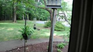 Yankee Flipper Vs Persistent Squirrel