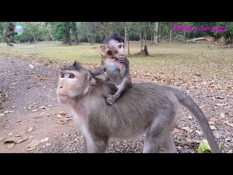 Cute baby monkey riding on the back of mom / Monkey eating lotus fruits