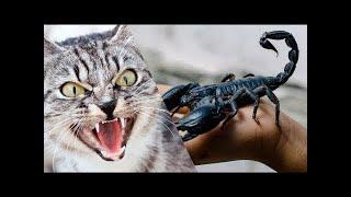 قط ضد عقرب Cat VS Scorpion