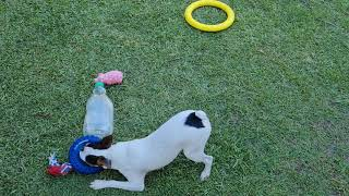 Tenterfield terrier no shortage of toys