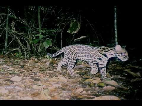 Ocelot's Lives Part 1 - Growing Up - YouTube