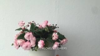 Фиалка Литуаника в цвету
