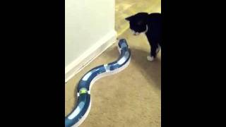 My Adorable Awesome kitty playing with his new toy!