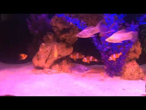 Saltwater Fish + Brackish Fish In 1 Aquarium Tank? | Reeftank | Molly | Nemo | Mono Argentus |dumsel