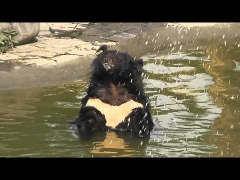 Bear Comedy - Animals Asia