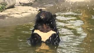 Bear Comedy - Animals Asia