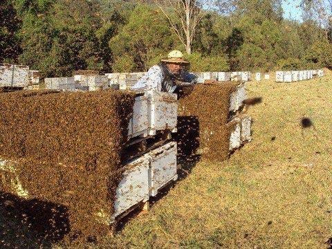 Что такое пчелиная перга и -