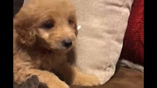 FLOWER The Mini GoldenDoodle   DECEMBER 11th - NAR Puppies
