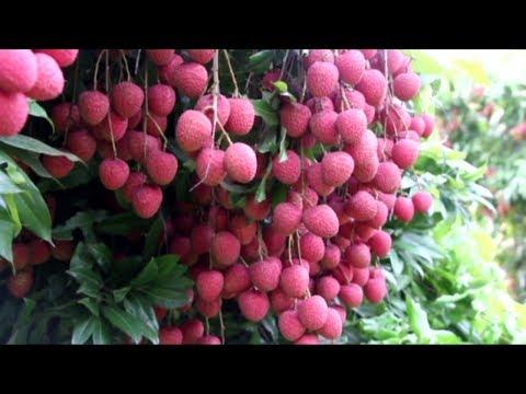 সবচেয়ে বড় লিচু বাগান | চায়না-৩ | উন্নত জাতের লিচু চাষ | Litchi Cultivation | Litchi | Big Lychee