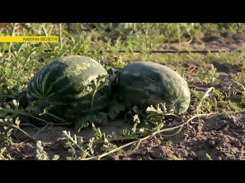 Все хитрости выращивания арбузов-гигантов | Ранок з Україною