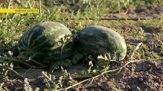 Все хитрости выращивания арбузов-гигантов   Ранок з Україною