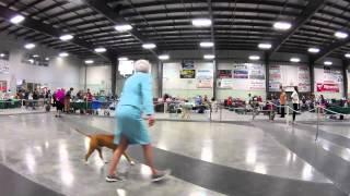 Female American Staffordshire Terriers Dog Show Ckoc