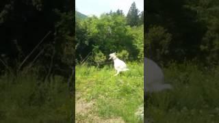動画撮るよーって言ってみたら、 興奮していつもと違う行動をした 犬と...