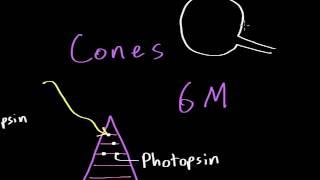 Vision: Photoreceptors (Rods vs. Cones)