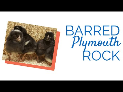 Barred Plymouth Rocks The Right Chicken for your Backyard