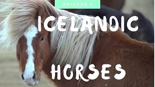 Icelandic Horse: Everything You Need to Know