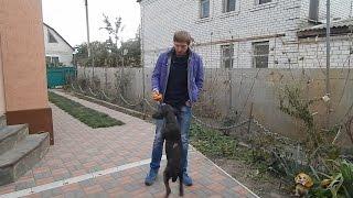 Учим собаку апортировке - День 2 (Играем с поноской)