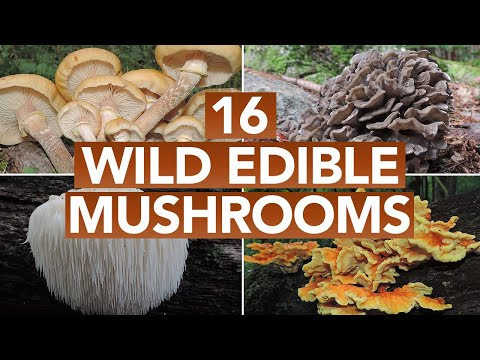 16 Wild Edible Mushrooms You Can Forage This Autumn