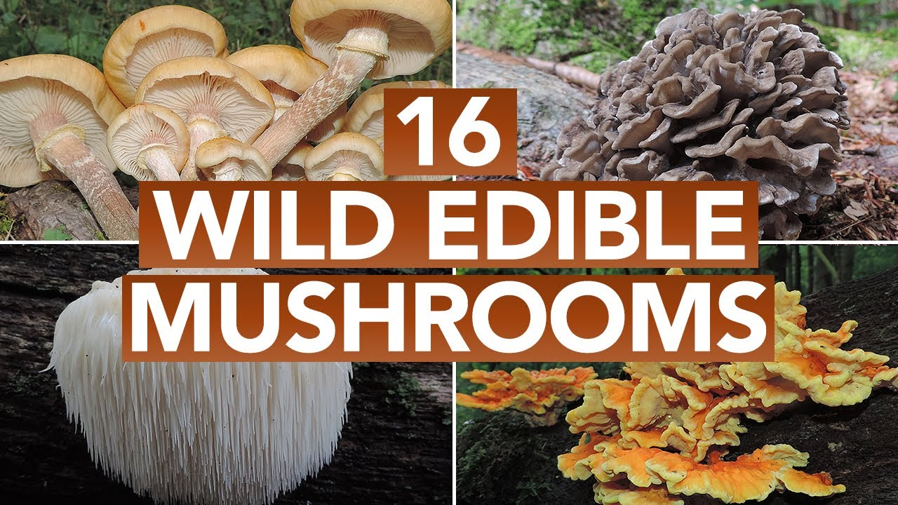 16 Wild Edible Mushrooms You Can Forage This Autumn - YouTube