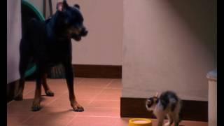 Dancow Caign Cat Dog 15s