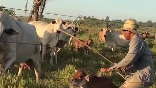 Vaca bruta, atacando peão!!!