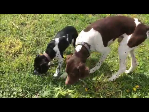 German Shorthaired Pointer or English Pointer Puppy