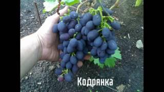 видео Cаженцы винограда лучших сортов Черноземья