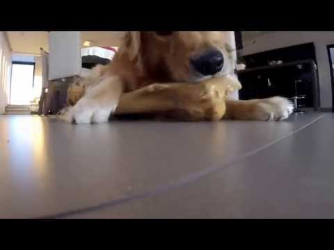 Golden Retriever Bruce roendo o osso - GoPro Session - Dog biting a bone - Hero4