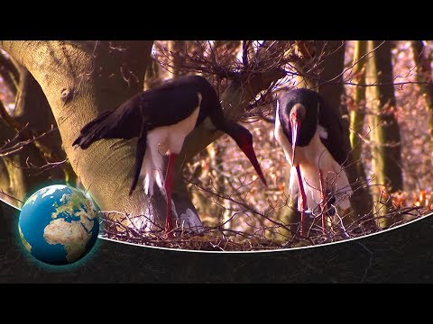 Black storks -