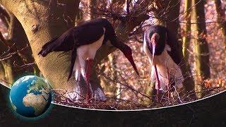 Black storks - returnees to German forests