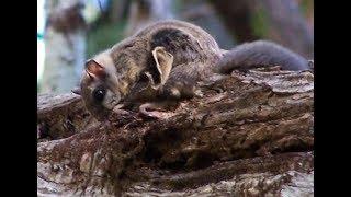 World's weirdest: Flying Squirrel | CCTV English