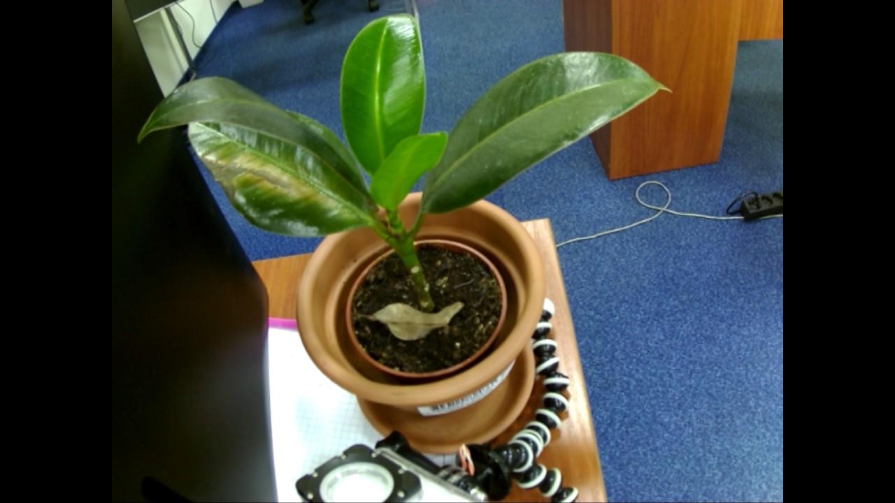 Come Riprodurre Il Ficus Benjamin fikus flower - 1 year 6 months per 2 min 20 sec timelapse video