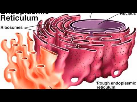 hqdefault ribosomes and the endoplasmic reticulum youtube