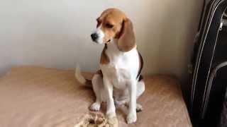 Вот что сделала моя собака, когда меня не было дома (Бигль) What my dogs did when I wasn't at home