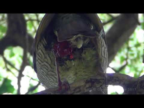NATIVE BIRDS OF AUSTRALIA - BIZARRE BIRD MYSTERY INJURY