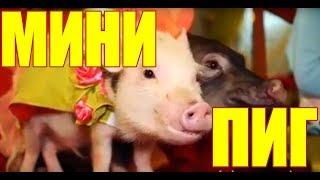 Новый год 2019 - Год Желтой Земляной Свиньи. Закажите МиниПига!