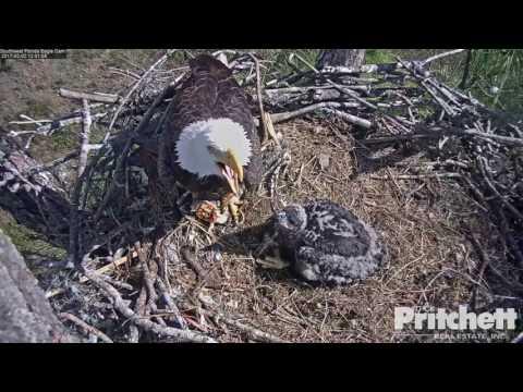 SWFL Eagles ~ A Big Fish for Mom & E9  2.2.17