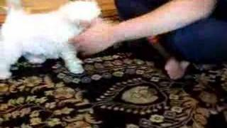 Teacup Maltese Rolls Over And Over And Over Again!