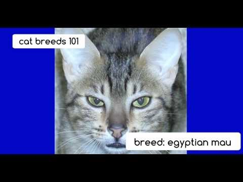 egyptian-mau-cats -cat-breeds-101