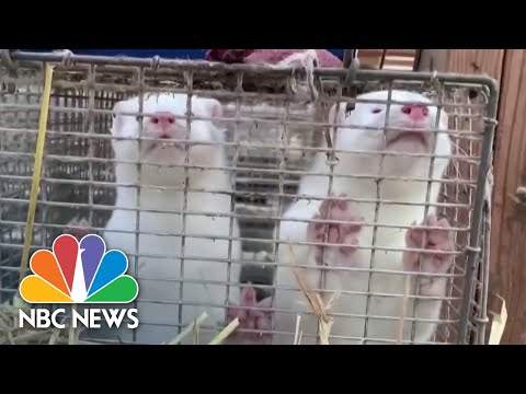 Covid-Outbreaks-On-Mink-Farms-Stir-Controversy-Among-Scientists-NBC-News-NOW