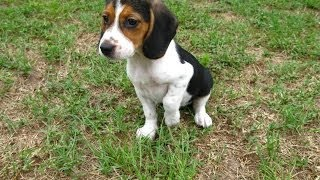 Beagle, Puppies, For, Sale, In, Gulfport, Mississippi, Ms, Greenville, Olive Branch, Tupelo
