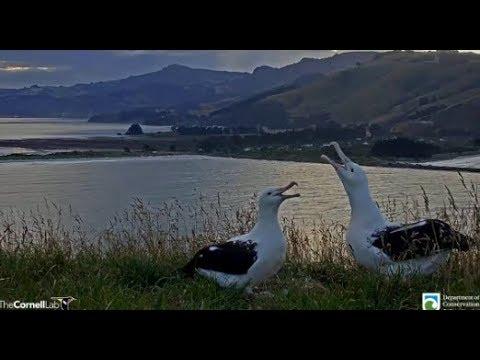 Royal Cam Albatross ~ OGK Returns!! Sweet Greetings & Allopreening With YRK - Shift Change 1.30.20
