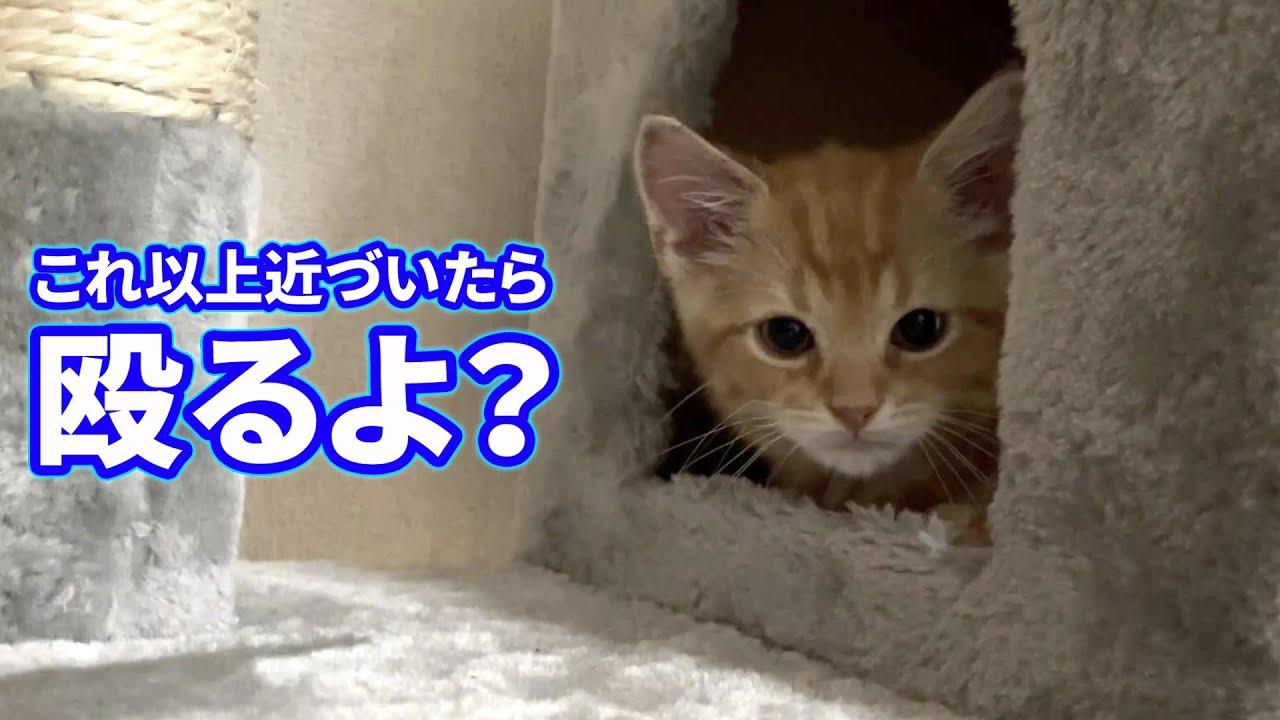 【喧嘩】子猫が飼い主にブチギレて猫パンチしてきました